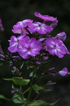 Pretty Purple Phlox....I love the wild phlox that grow on the side of roads.