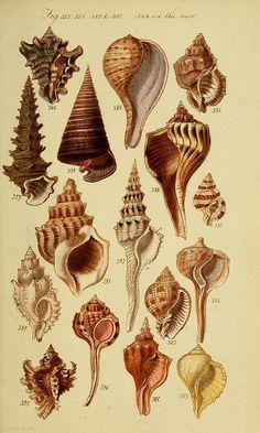 Illustration of shells by Biodiversity Heritage Library Botanical Drawings, Botanical Illustration, Botanical Prints, Illustration Art, Design Illustrations, Illustrations Posters, Nature Prints, Art Prints, Art Nature