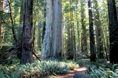 At Jedediah Smith Redwoods State Park, a trail is routed into the Stout Grove along the Smith River in the Redwood Empire of Northern California