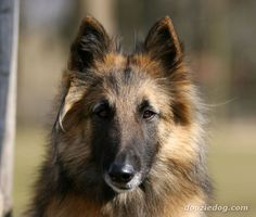 Belgian Tervuren dog <3 like the one we had when I was a child.     Leod <3