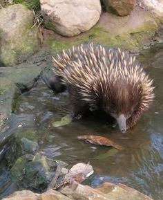 Echidna are in the same family group as the