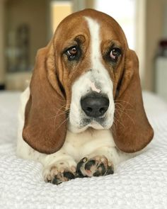 Why does Monday come after Sunday??  Basset Hound