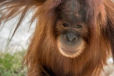 """The San Diego Zoo's spunky redhead, Aisha. Orangutans, whose name means """"people of the forest,"""" live in tropical and swamp forests on the Southeast Asian islands of Borneo and Sumatra. These shaggy..."""