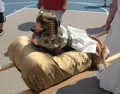 Cleopatra costume - Perfect for my dachshund, she thinks she's queen!