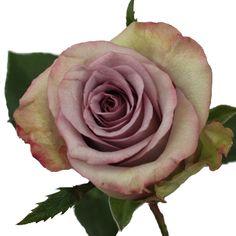 FiftyFlowers.com - Waikiki Lavender Fresh Cut Rose