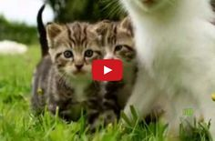 Della the Cat and Her Yellow Kittens - adorable mother cat