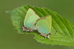 green Butterfly | Green Hairstreak Butterflies Mating [22 of 36]