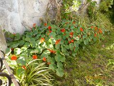 EVBJUAN  Tropaeolum majus-TACO DE REINA  Calle Sens Peña - Brandsen Tacos, Plants, Planters, Plant
