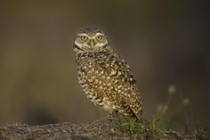 Burrowing Owl - null