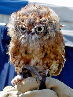 Southern Boobook Owl Bird Image - http://www.petandanimals.com/southern-boobook-owl-bird-image/