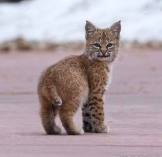 Rare Cats, Exotic Cats, Cats And Kittens, Baby Bobcat, Bobcat Kitten, Beautiful Cats, Animals Beautiful, Cute Baby Animals, Funny Animals