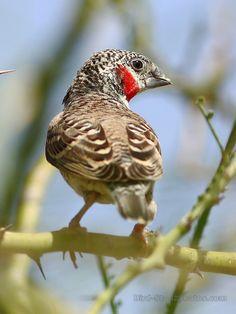 Amadina fasciata - Cut-throat Finch, estrildid finch