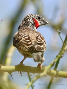 Amadina fasciata - Cut-throat Finch, estrildid finch