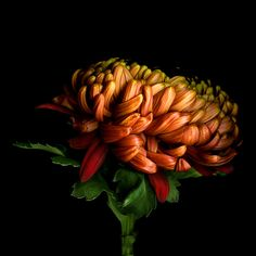 Of seasonal colours. Chrysanthemum by Magda indigo, via