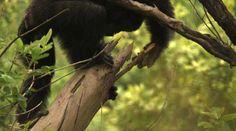 Forscher beobachten wilde Schimpansen bei der Jagd mit Speeren . . . http://grenzwissenschaft-aktuell.blogspot.de/2015/04/forscher-beobachten-wilde-schimpansen.html . . . Abb.: BBC