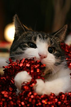 garland cat.    Look at this little monkey!  When my two oldest kitties were with us they were big fans of helping out when the Christmas tree went up too.