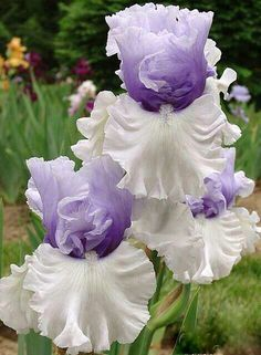 Beautiful. One of my favs.  Does anyone know the name of this iris?