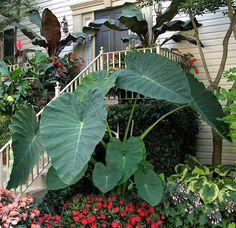 Jack's Giant Elephant Ear Plant - Colocasia - Massive Foliage - Potted Hirts: House Plant http://www.amazon.com/dp/B007NNPVBU/ref=cm_sw_r_pi_dp_LNkyvb1EXX8CT