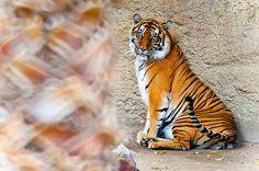 Sumatran Tiger, Lulu   by the Snow Tiger