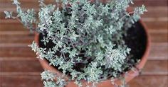4 Reasons Thyme Is An Herb For Winter Health ndash Herbal Academy This herb tucked away in your kitchen may have more uses than you think! Thyme is an herb for winter health.