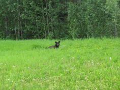 Black bear friend along the way on the Alcan in B.C.