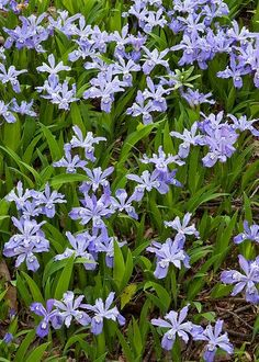 Wild Crested Dwarf Iris - Great Smoky Mountains National Park, Tennessee