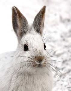 Snowshoe Hare by Jim Cumming, via Flickr