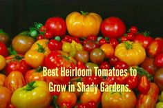 Heirloom Tomatoes to Grow in Shady Garden