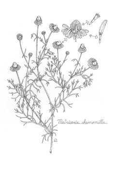 Copy of monograph rose Herbs Illustration, Botanical Illustration, Flower Wall Design, Culinary Arts, Botany, Wall Murals, Body Art, Embroidery, Tattoos