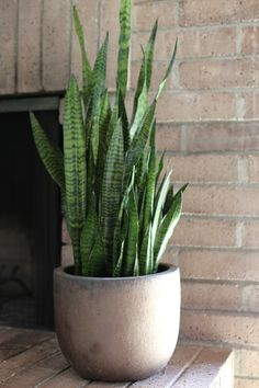 Botanical Inspiration: Sansevieria trifasciata — COCOON HOME These plants can survive in a no-light room. Sansevieria Trifasciata, Sansevieria Plant, Cool Plants, Green Plants, Tropical Plants, Indoor Garden, Indoor Plants, Potted Plants Patio, Winter Potted Plants