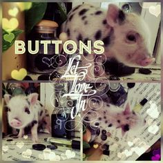 Buttons just became available and he is ready to be shipped immediately, just in time for Valentine's Day.   http://preciousteacuppigs.com/product/buttons-male-piglet-order-teacup-mini-pigs-online/