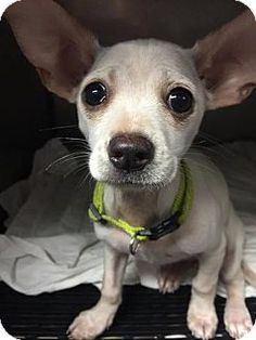 Phoenix, AZ - **PUPPY**Chihuahua Mix. Meet Sugar, a dog for adoption. Sugar is a 9 week old Chihuahua mix who is super sweet! She is beyond playful and good with other dogs, cats, and children. http://www.adoptapet.com/pet/14593695-phoenix-arizona-chihuahua-mix