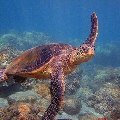 Turtle Love, Cute Turtles, Sea Turtles, Diver Down, Peaceful Heart, Spiritual Animal, Tortoise Turtle, Life Aquatic, Frases
