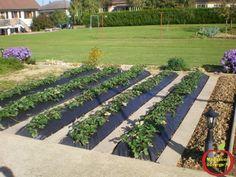 Comment planter de fraisiers sur bâche noir | Planter des ...