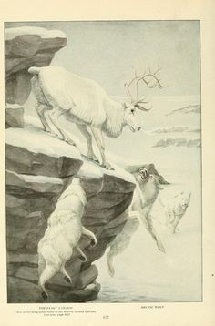 Caribou and arctic wolves. Wild Animals of North America, Intimate Studies of Big and Little Creatures of the Mammal Kingdom. Nelson, Fuertes, and Grosvenor, 1918.