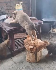funny cats and dogs videos * funny cats ; funny cats and dogs ; funny cats can't stop laughing ; funny cats and dogs videos ; funny cats with captions Cute Animal Videos, Funny Animal Pictures, Cute Funny Animals, Cute Baby Animals, Animals And Pets, Cute Cats, Funny Cats, Nature Animals, Funny Dog Videos