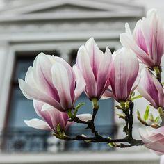 #flowers #flower  #beautiful #pretty #plants #blossom #spring #flowerstagram #flowersofinstagram #flowerslovers #botanical #floral #instablooms  #travel #germany #bremen #magnolia  #ig_flowers #superb_flowers #insta_pick_blossoms #bns_flowers #ip_blossoms #myheartinshots #lovely_flowergarden #bns_flowers #ip_blossoms
