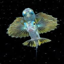 Juvenile Flying Fish, swimming at Raja Ampat, Indonesia; Posted by: Happy Jack