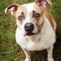 Stone Mountain, Georgia - American Pit Bull Terrier. Meet Nanny Duck, a for adoption. https://www.adoptapet.com/pet/7789485-stone-mountain-georgia-american-pit-bull-terrier-mix