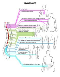 Myotomes (Spine To Body Reference) | Flickr - Photo Sharing!