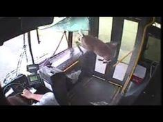 [FULL] MOMENT Deer Crashes Through Bus Windshield
