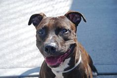 GONE-BE AT PEACE - 07/31/14 Brooklyn Center -P My name is CHOCO. My Animal ID # is A1001068. I am a neutered male chocolate and white pit bull mix. The shelter thinks I am about 1 YEAR 8 MONTHS old. I came in the shelter as a STRAY on 05/25/2014 from NY 11208, owner surrender reason stated was STRAY.