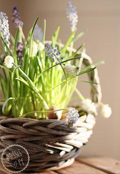Ein Körbchen Frühling mit selbst gezogenen Traubenhyazinthen :: A basket with spring flowers (Muscari)