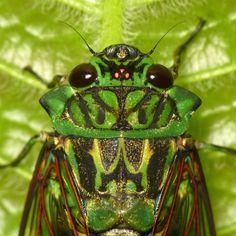 Emerald Cicada, Zammara smaragdina from Jardín Eco-botánico MINDO, additional photos at www.flickr.com/search/?w=75374522@N06&q=smaragdina