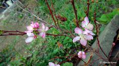 季節外れの小梅の花