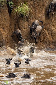 Wildebeast crossing the Mara River in Kenya. Mayhem on the Mara by Morkel Erasmus
