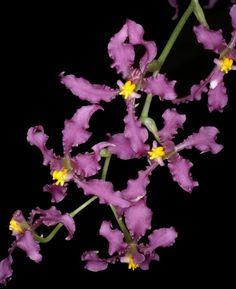 Orchid: Cyrtochilum ioplocon