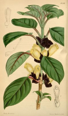 Curtis's botanical magazine.. London ;New York [etc.] :Academic Press [etc.]. biodiversitylibrary.org/page/434585