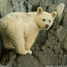 """A Spirit Bear Cub looks back along the shore line. The Kermode bear (Ursus americanus kermodei,), also known as a """"spirit bear"""" is a subspecies of the American Black Bear living on the coast of British Columbia, Canada...about 1/10 of their population have white or cream-coloured coats... due to recessive alleles common in the population. They are not albinos and not any more related to polar bears or the """"blonde"""" brown bears than other members of their species. Photo by Breene Yuen."""