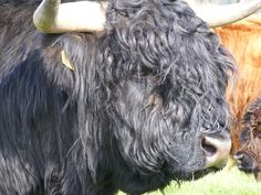 Portrait of black highland cow Scotland. Royalty free stock photos. All pictures are free for commercial and personal use. www.http://publicdomainpictures.net